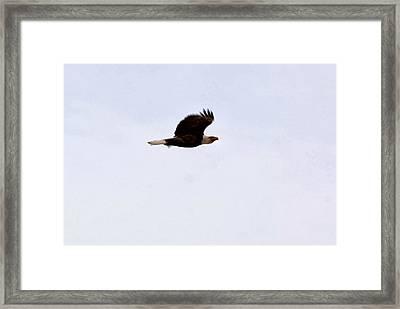 Bald Eagle Takes Flight Framed Print by Don Mann