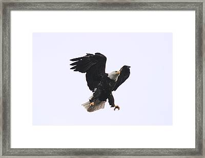 Bald Eagle Tallons Open Framed Print by Kym Backland