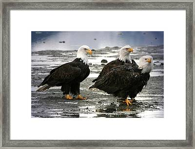 Framed Print featuring the digital art Bald Eagle Trio by Carrie OBrien Sibley