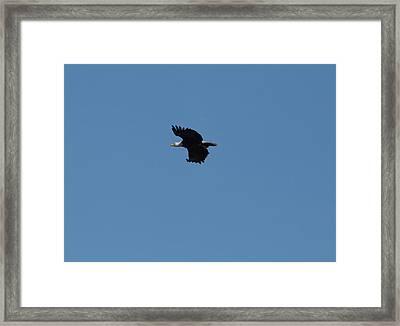 Bald Eagle1 Framed Print