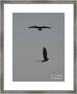 Bald Eagles Framed Print
