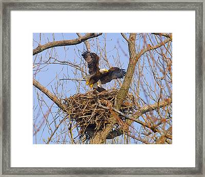 Bald Eagles Nest Framed Print by J Larry Walker