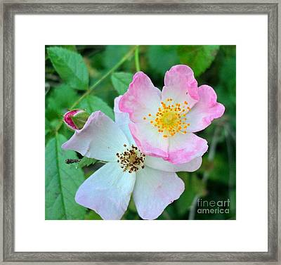 Ballerina Rose Bud And Blooms Framed Print by Padre Art