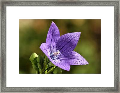 Balloon Flower Framed Print by Lori Peters