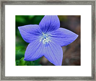 Balloon Flower Framed Print by Susan Leggett