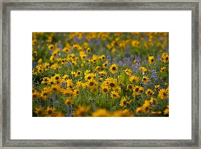 Balsamroot And Lupine Framed Print