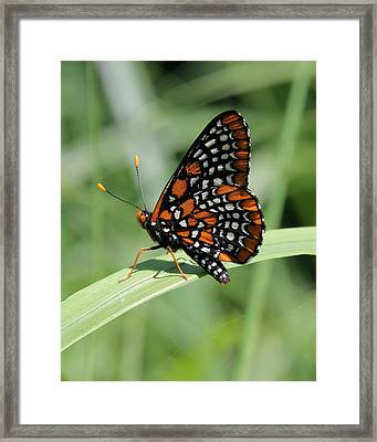 Baltimore Checkerspot Butterfly With Wings Folded Framed Print by Doris Potter