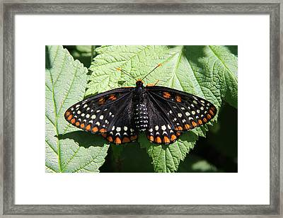 Baltimore Checkerspot Butterfly With Wings Spread Framed Print by Doris Potter