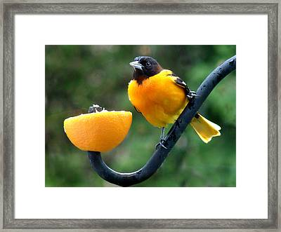 Baltimore Oriole And Orange Framed Print