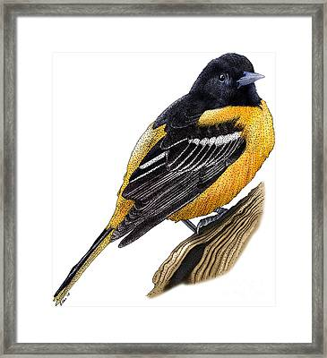 Baltimore Oriole Framed Print by Roger Hall and Photo Researchers