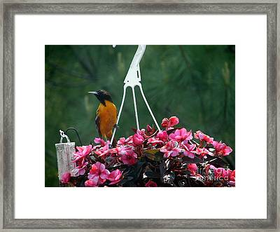 Baltimore Oriole Framed Print