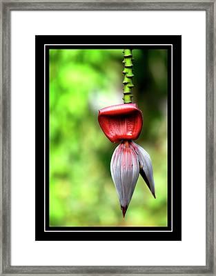 Banana Heart Framed Print by Carolyn Marshall