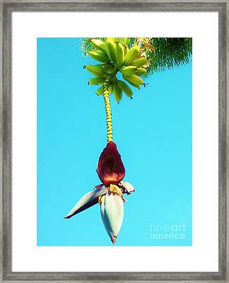 Framed Print featuring the photograph Banana In Full Bloom by Jasna Gopic