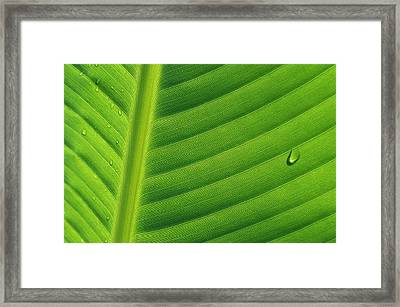 Banana Musa Sp Close Up Of Leaf Framed Print by Cyril Ruoso