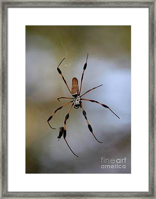 Banana Spider With Prey Framed Print by Carol Groenen