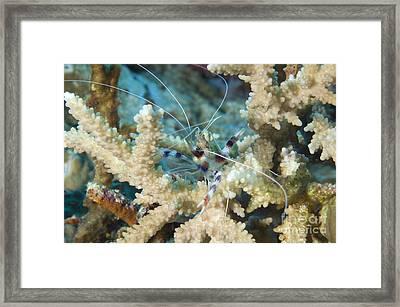 Banded Coral Shrimp Amongst Staghorn Framed Print by Steve Jones