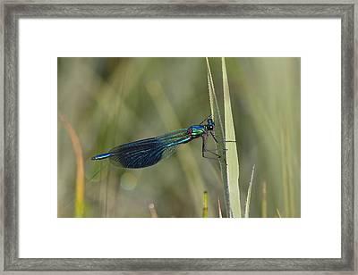 Banded Demoiselle Calopteryx Splendens Framed Print by Konrad Wothe