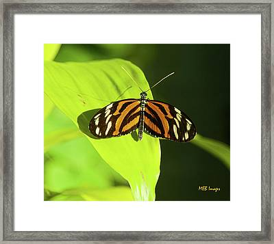 Banded Orange Butterfly Framed Print by  Margaret Buchanan