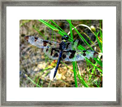 Banded Pennant Dragonfly Framed Print by Donna Brown