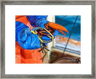 Banding An American Lobster In Chatham On Cape Cod Framed Print by Matt Suess