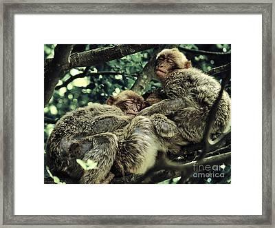 Barbary Apes Macaques Babies Budddies Gang Framed Print