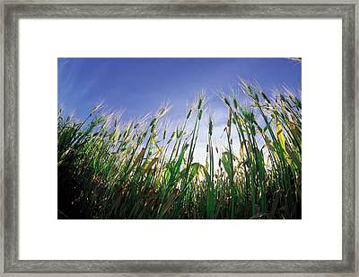 Barley Field, Near Dugald, Manitoba Framed Print by Dave Reede