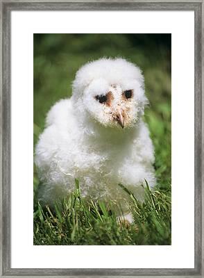 Barn Owl Chick Framed Print by David Aubrey