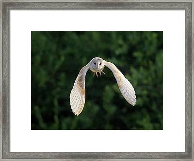 Barn Owl Flying Framed Print by Tony McLean