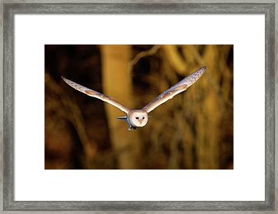 Barn Owl In Flight Framed Print by MarkBridger