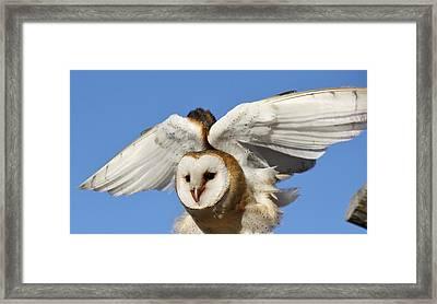 Barn Owl In Flight Framed Print by Paulette Thomas