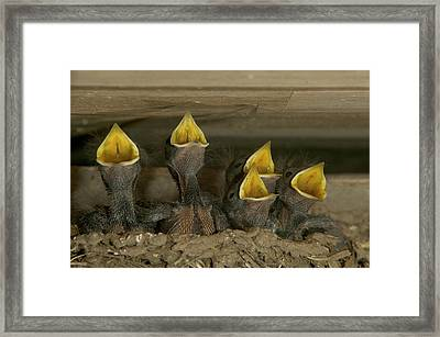 Barn Swallow Hirundo Rustica Chicks Framed Print