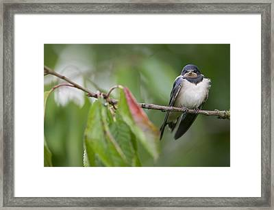 Barn Swallow Hirundo Rustica Fledgling Framed Print by Cyril Ruoso