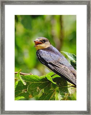 Barn Swallow In Sunlight Framed Print by Robert Frederick
