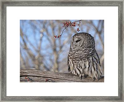 Barred Owl And Red Berries Framed Print by Cindy Lindow