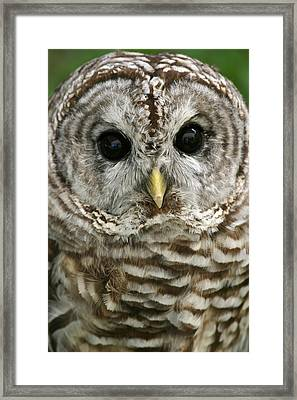 Barred Owl Framed Print by Cindy Haggerty