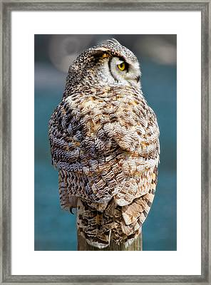 Barred Owl Framed Print by Naman Imagery
