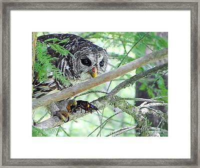 Barred Owl With Crawfish Framed Print by Betty Berard