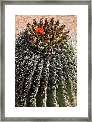 Barrell Cactus Framed Print