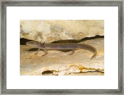 Barton Springs Salmander Framed Print by Dante Fenolio