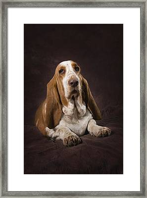 Basset Hound On A Brown Muslin Backdrop Framed Print by Corey Hochachka