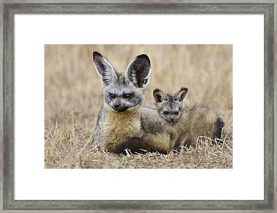 Bat Eared Fox Parent And Pup Masai Mara Framed Print by Suzi Eszterhas