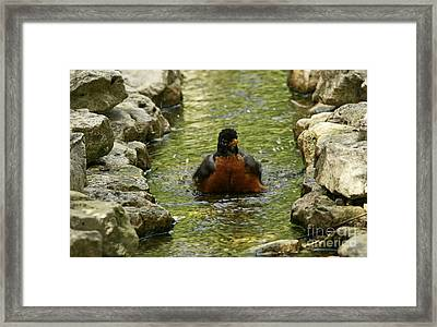 Bathing Beauty American Robin Bathing In A Stream Framed Print