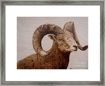 Battle Scarred Big Horn Ram Framed Print by Adam Owen