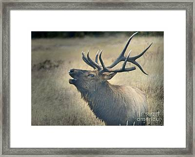 Framed Print featuring the photograph Battle Tested Elk Warrior by Nava Thompson