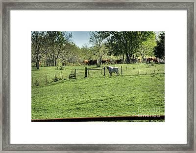 Bawdy Bull Framed Print by Fred Lassmann