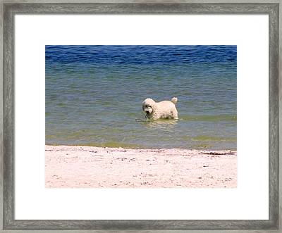 Beach Poodle Framed Print