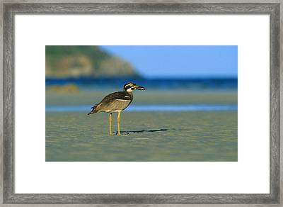 Beach Stone-curlew Framed Print by Bruce J Robinson