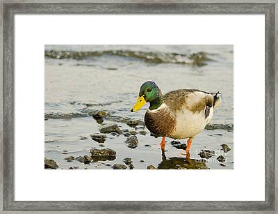 Framed Print featuring the photograph Beach Strolling Mallard by MaryJane Armstrong