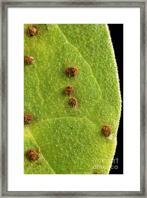 Bean Leaf With Rust Pustules Framed Print