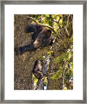 Bear Cub Knapping Up A Tree Framed Print by Paul W Sharpe Aka Wizard of Wonders